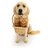 Golden Retriever with kittens in a basket