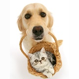 Golden Retriever with kitten in a basket