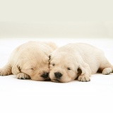 Golden Retriever pups asleep