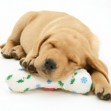 Retriever pup asleep on a toy bone