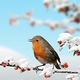 Robin and Cotoneaster