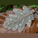 Raindrops on a fallen oak leaf in November