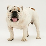 Red-and-white Bulldog standing