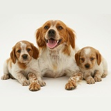 Brittany Spaniel and pups