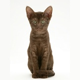 Brown Oriental-type kitten