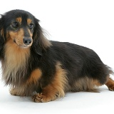 Miniature longhaired Dachshund