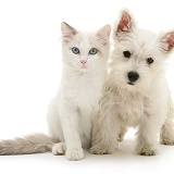 Blue-eyed Ragdoll cat with Westie pup
