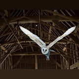 Barn Owl flying in a barn