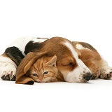 Ginger kitten under the ear of a sleeping Basset pup