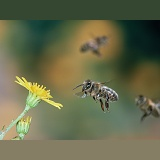 Honey Bee flight