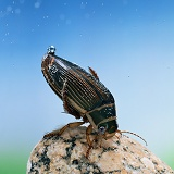 Great Diving Beetle underwater