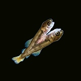 Rainbow Trout 'Siamese twins'