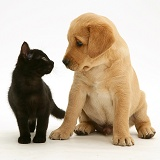 Black kitten and retriever pup