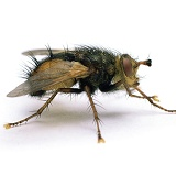 Parasitic Fly