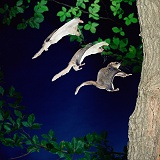 Southern Flying Squirrel multiple exposure