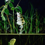 Archer Fish leaping