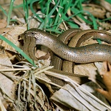 Slow-worms mating