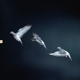 Multiple image of Domestic Pigeon in flight