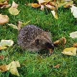 Hedgehog eating a Garden Snail