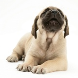 Sad fawn English Mastiff pup
