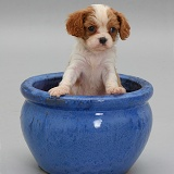 King Charles pup in a blue plant pot