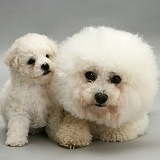 Bichon Frise mother and cute puppy