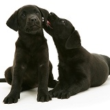 Two Black Labrador Retriever pups, 8 weeks old