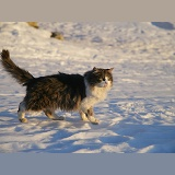 Norwegian Forest Cat walking on snow