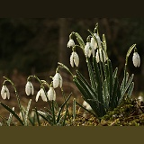 Snowdrops after rain