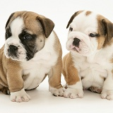 Bulldog pups