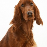 Red Setter bitch, portrait