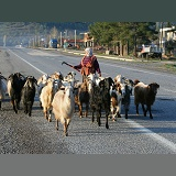 Woman walking a herd of goats along the road