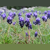 Grape Hyacinth flowers