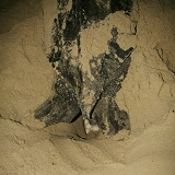 Leatherback Turtle laying eggs