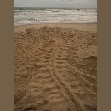Leatherback Turtle tracks