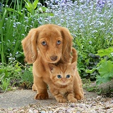 Dachshund pup and ginger kitten