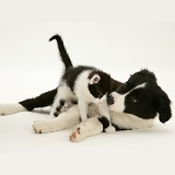 Black-and-white Border Collie pup and kitten