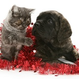Smoke Exotic kitten and puppy with tinsel