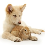 White Alsatian and rabbit