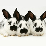 Three young English spotted rabbits