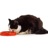 Black-and-white cat eating from a bowl