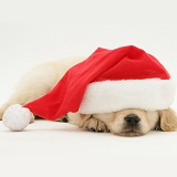Sleepy Golden Retriever pup wearing a Santa hat