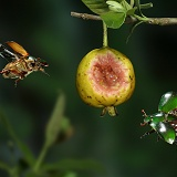 Green fruit beetles