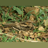 White-naped Nightjar on nest