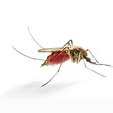 Mosquito engorged with blood