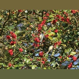 Holly berries with blue tits
