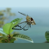 Tropical cicada in flight