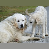 Maremma Sheepdog father and pup