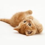 Ginger kitten rolling