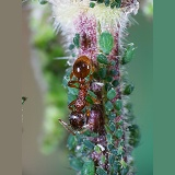 Red Ant and Nettle Aphids